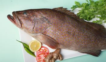 Hamour Suman / Reef Cod / Grouper / سومان